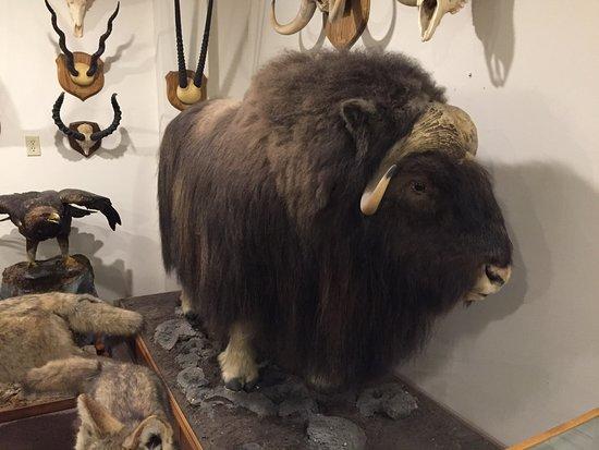 Stones 'n Bones Museum: Bison