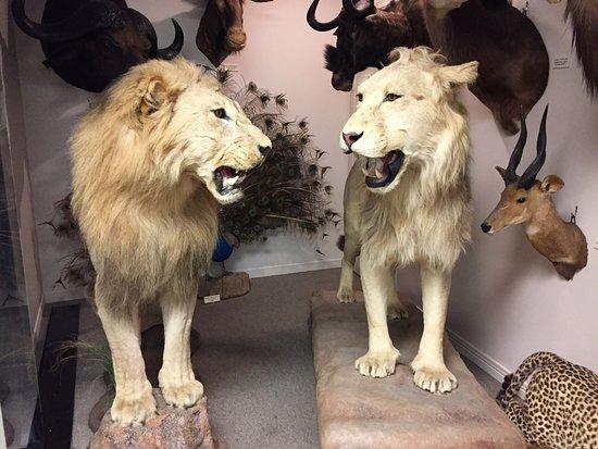 Stones 'n Bones Museum: Lions