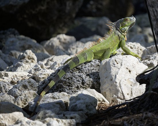 Little Palm Island Resort & Spa, A Noble House Resort: Iguana