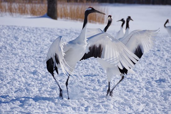 Tsurui Ito Red-crowned Crane Sanctuary