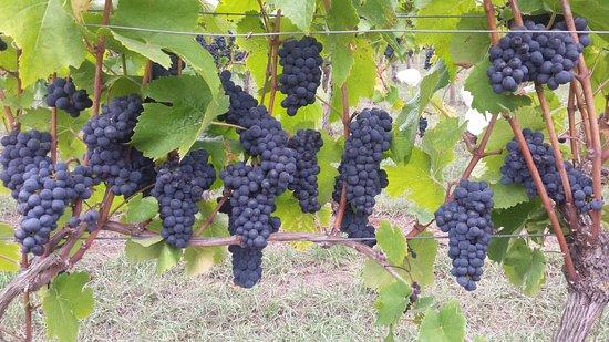 Leongatha, Australia: Premium Pinot Noir Grapes