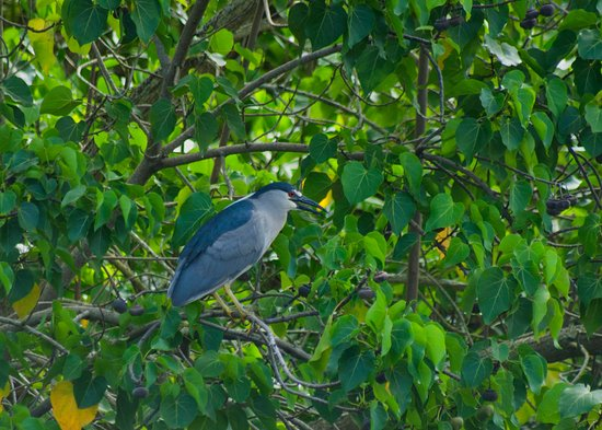 Kawai Nui Marsh: heron