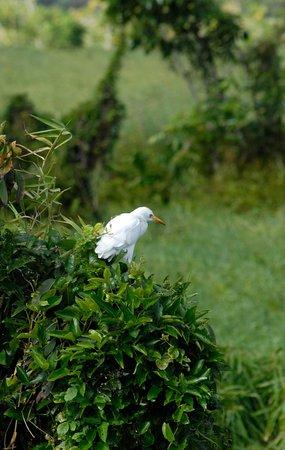 Kawai Nui Marsh: cattle egret