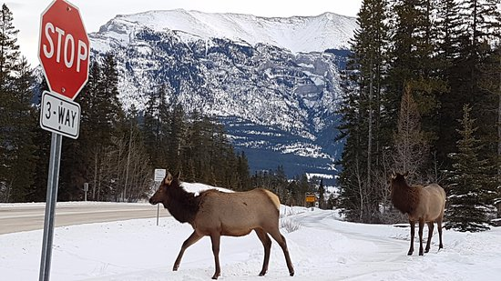 WorldMark Canmore-Banff: Elk on the hotel property