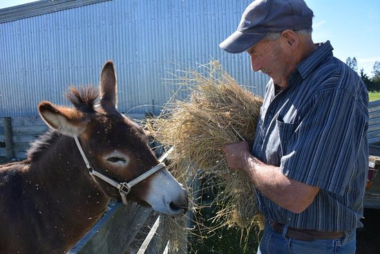 Fairlie, New Zealand: Feeding the donkey on the property.