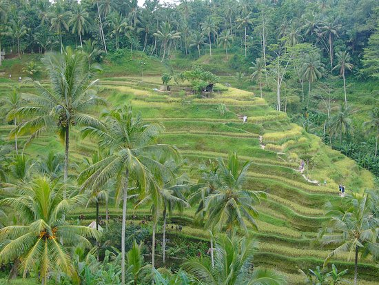Picture of tegalalang rice terrace ubud for Tegalalang rice terrace ubud