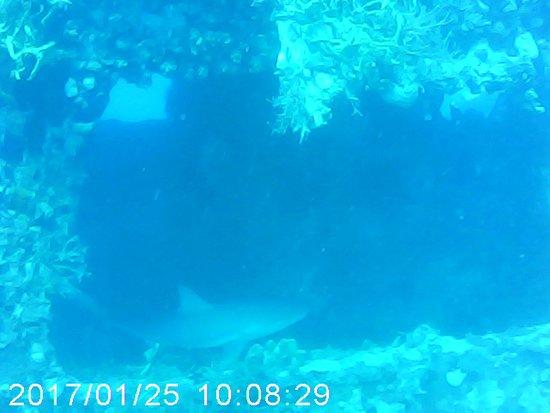 St. Kitts i Nevis: Shark seen in the MV Christena