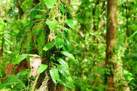 Tenorio Volcano National Park, Costa Rica: Nebelwald Vegetation