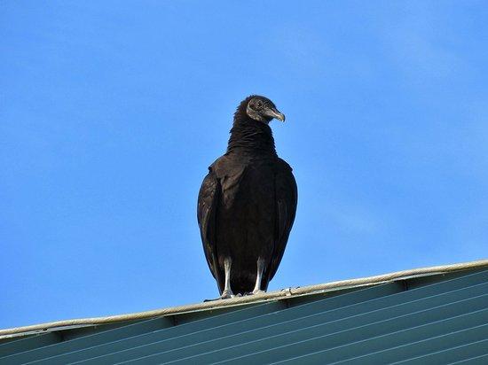 Royal Palm Visitor Center: Black Vulture