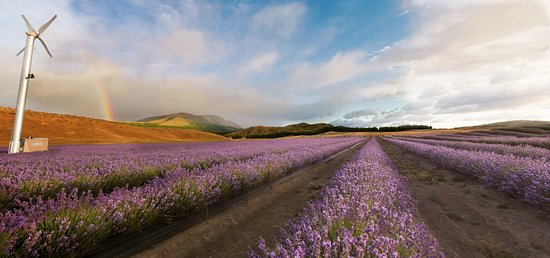 New Zealand Alpine Lavender Farm