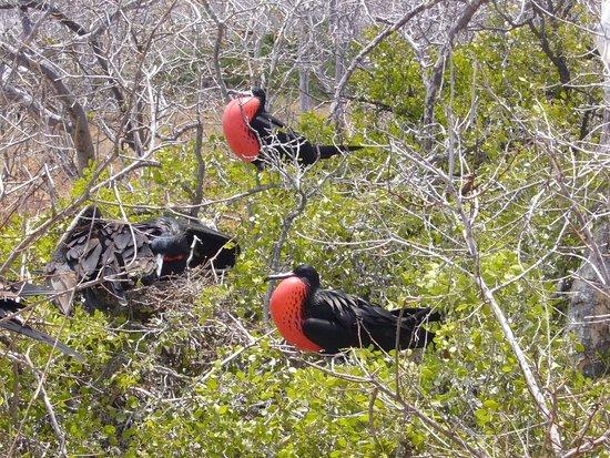 La Casa de Marita: Prachtfregattvögel