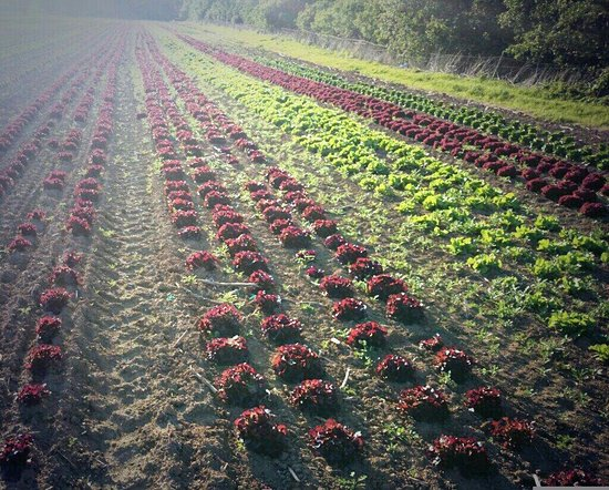 Bilting, UK: Fields of beautiful lettuces