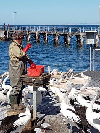 Kingscote, Australia: Pelican Feeding