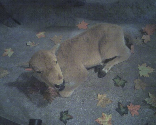 Makanda, IL: The bison calf on display