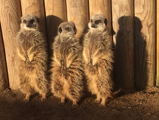 Meerkat Encounter at Berkshire College of Agriculture