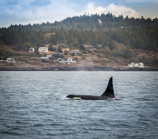 Eagle Wing Whale Watching Tours: Orca off San Juan Islands