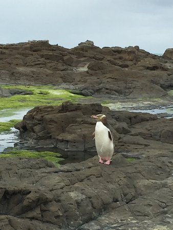 Southland Region, Nueva Zelanda: Pinguino dagli occhi gialli