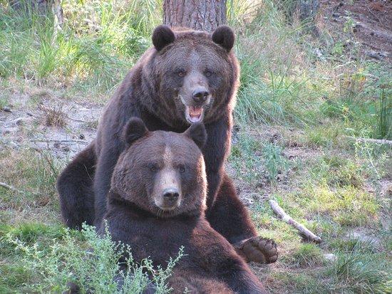 Güstrow, Alemania: Die Braunbären Fred und Frode