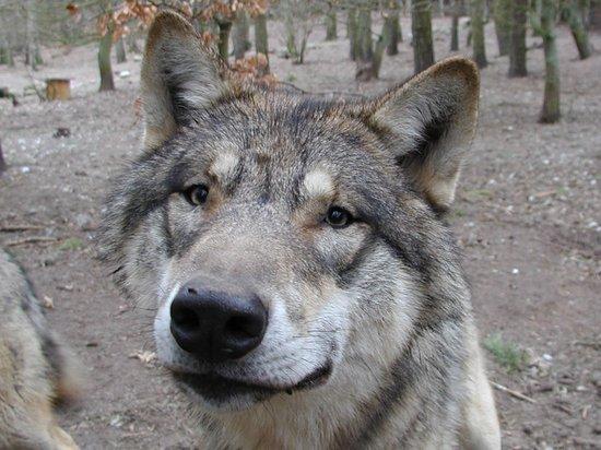 Güstrow, Alemania: Besucherlieblinge: das Wolfsrudel im Wildpark-MV