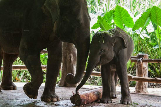 Bali Safari & Marine Park: two of the elephants that we were able to feed