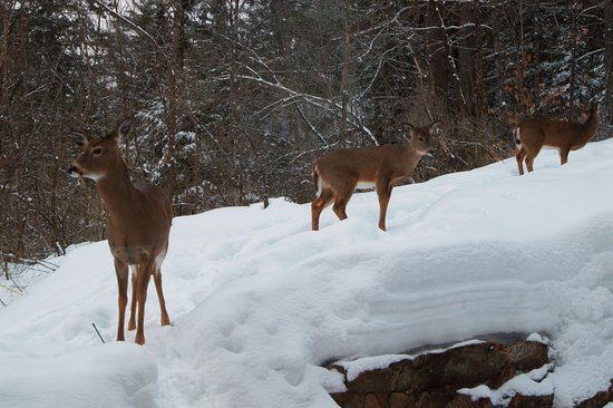 Wakefield, Kanada: We have several families of deer right in the back yard!