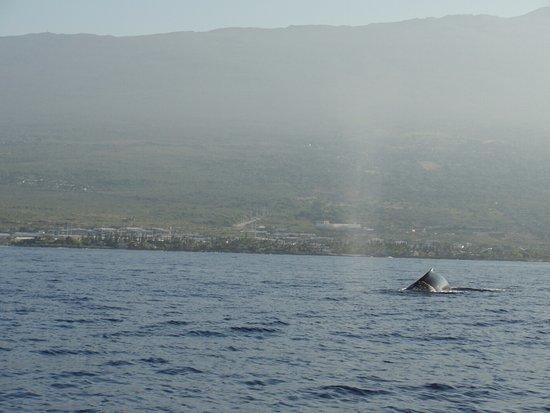 Holualoa, Hawái: humpbacks