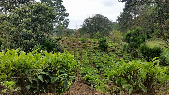 Chirrepeco Cooperative Tea Tour
