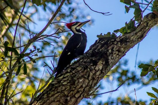 Seminole, Φλόριντα: Pileated Woodpecker, large as a crow!