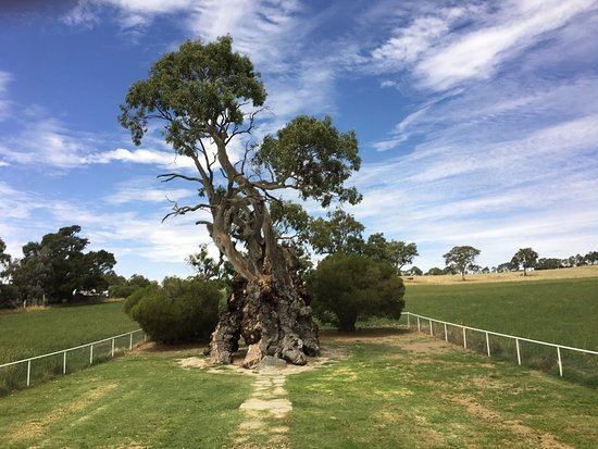Barossa Valley Wine Tour with Wine Tastings and Lunch: Herbig Family Tree