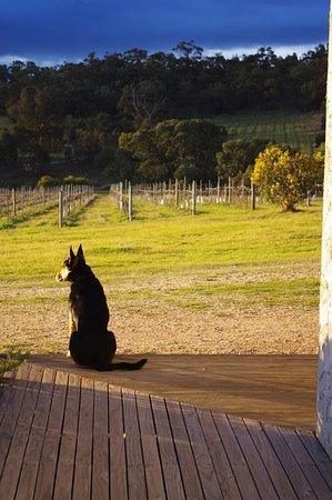 Ararat, Australia: Cyril surveying the shiraz vineyard.