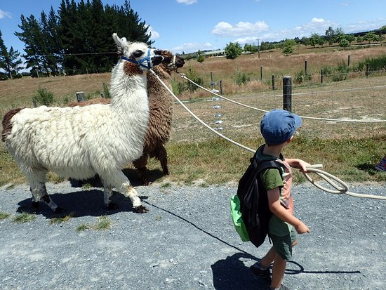 Animal Farm: Llama walking!