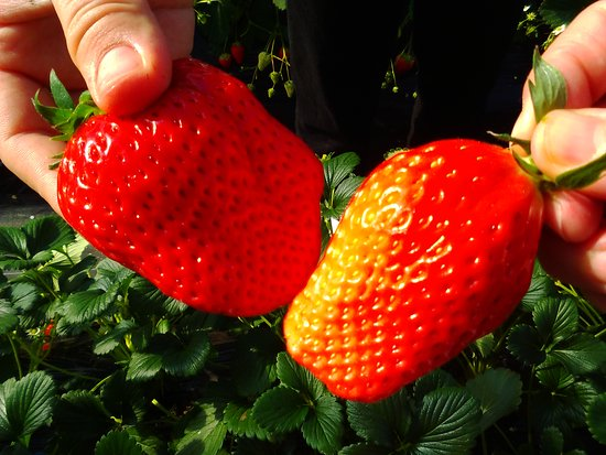 Tateyama Strawberry Picking Center : パプリカみたいにデッカイけど美味しい🎵