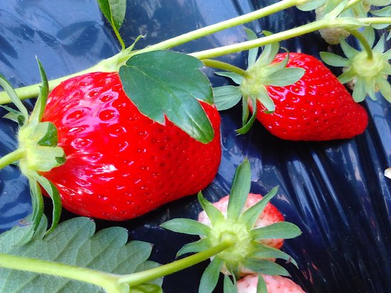 Tateyama Strawberry Picking Center