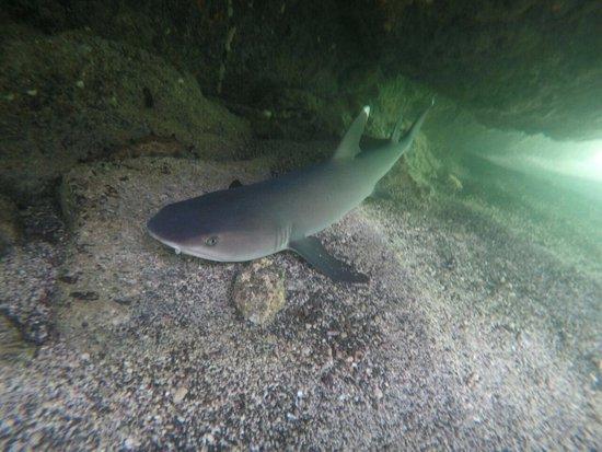 Puerto Villamil, Ecuador: Tiburon tintorera