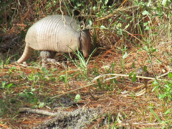 Crystal River Perserve State Park Eco-Walk : wild armadillo