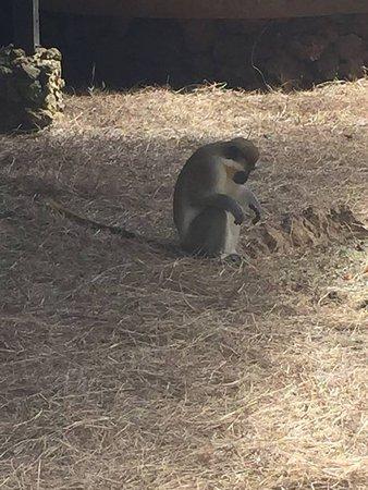 Barbados Wildlife Reserve: Monkey