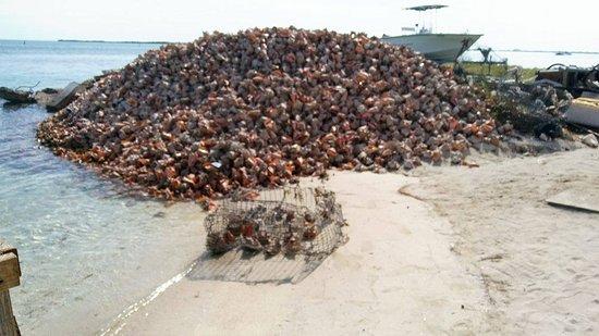 Bimini: Conch Shells out back of Joe's Conch Shack