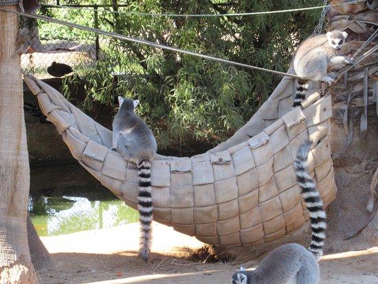 Litchfield Park, AZ: Ring Tail Lemurs
