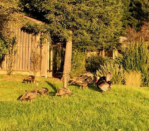 Ventana Inn & Spa: Wild Turkeys Near Reception Area