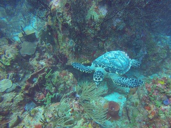 Dive Bequia: Sea turtle