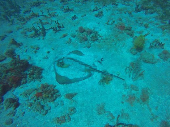 Dive Bequia: Ray