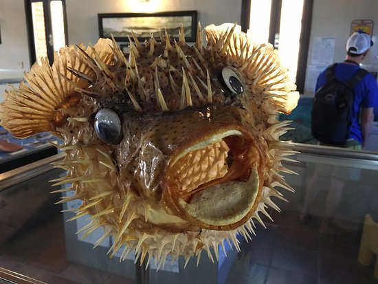 Museum of History: Preserved Puffer Fish
