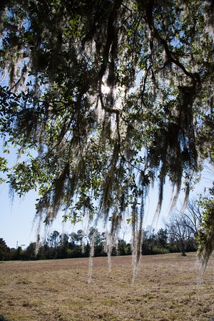 Charles Pinckney National Historic Site: Spanish Moss