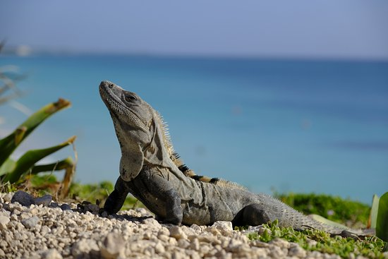Image result for iguana basking in the sub