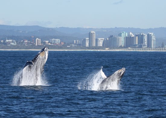 Kingscliff, Australia: Whale watching off Tweed Heads