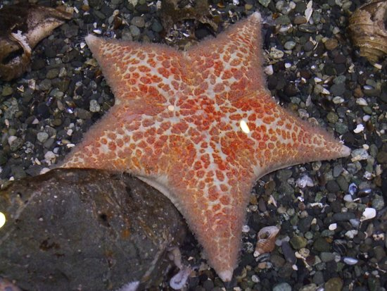 Seward, AK: ASLC - a Star Fish in one of the display exhibits