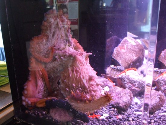 Seward, AK: ASLC - a Giant Pacific Octopus in one of the display exhibits