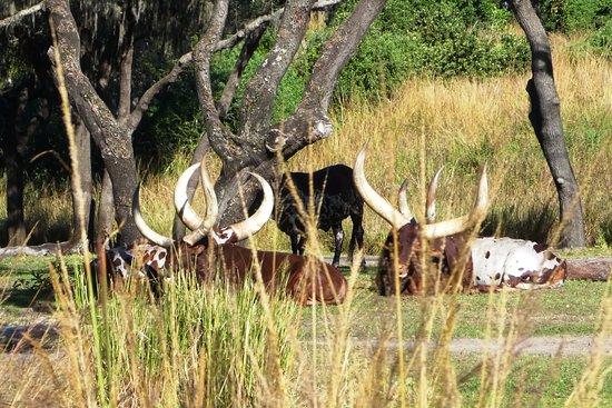 Image of: Orlando Disneys Animal Kingdom Kilimanjaro Safari Ride Ankole Watusi Tripadvisor Kilimanjaro Safari Ride Ankole Watusi Foto Van Disneys Animal