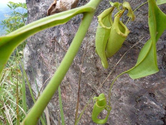 Tondano, Индонезия: Pitcher plants can be found on the rim.