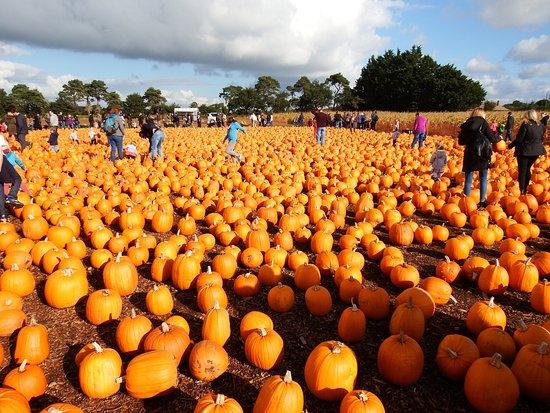 Undley Pumpkin Patch & Maize Maze